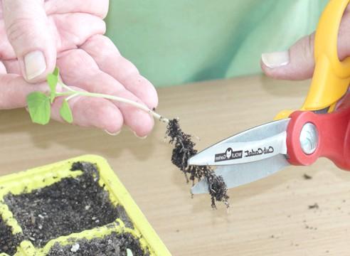 майстер-клас, фізаліс, вирощування розсади, укорочення коренів сіянцю
