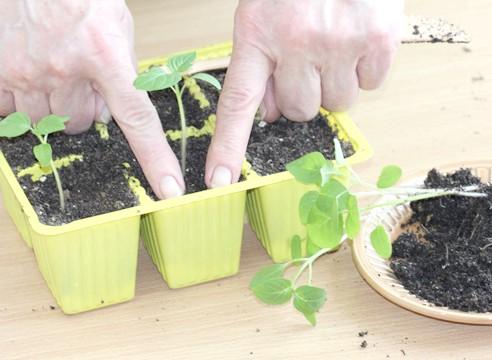 майстер-клас, фізаліс, вирощування розсади, ущільнення грунту навколо сіянцю