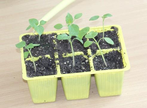 майстер-клас, фізаліс, вирощування розсади, полив розпікувати розсади