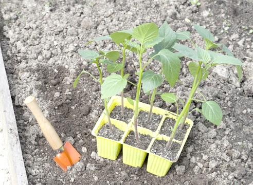 майстер-клас, фізаліс, вирощування розсади, розсада готова до висадки в грунт