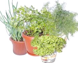 Фото - Як виростити на підвіконні ароматну зелень