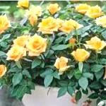 Фото - Яке укриття троянд на зиму врятує їх від вимерзання
