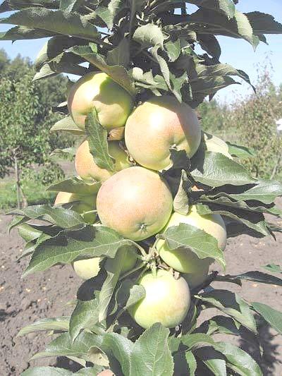 Фото - Колоновидна чудо-яблуня