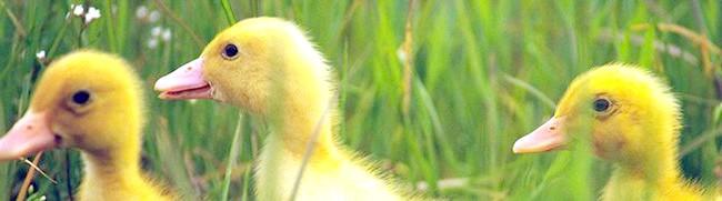 Фото - Хто такі мускусні качки і чим відрізняється їх зміст взимку?