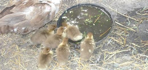 Мускусна качка з каченятами, blogspot.com
