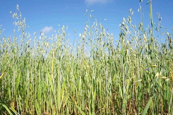 В якості сидератів часто використовують зернові