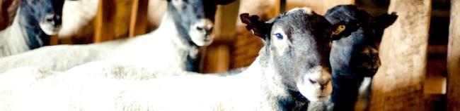 Фото - Вівці романівської породи як найкращий варіант для початківців вівчарів