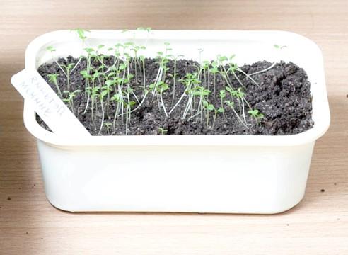 петунія, вирощування розсади, сходи перед пікіровкою