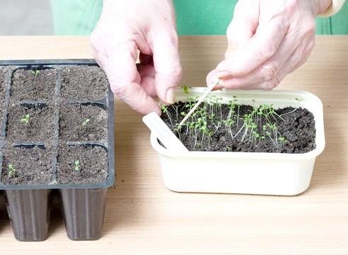 петунія, вирощування розсади, пікіровка сіянців