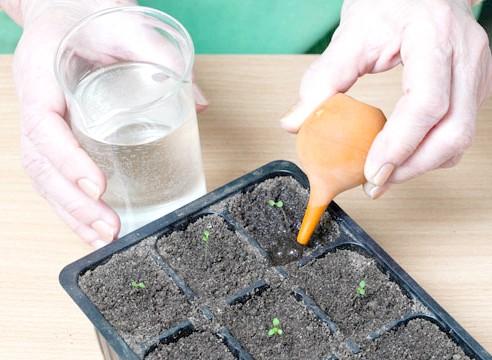 петунія, вирощування розсади, полив сіянців після пікіровки