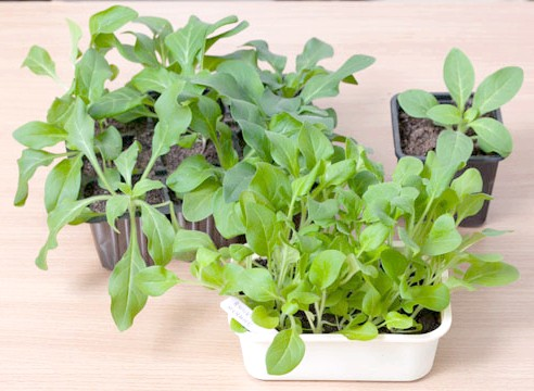 петунія, вирощування розсади, підросла розсада