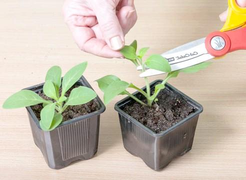 петунія, вирощування розсади, прищипка сіянців