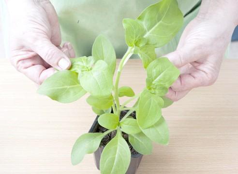 петунія, вирощування розсади, кущіння розсади після прищіпки