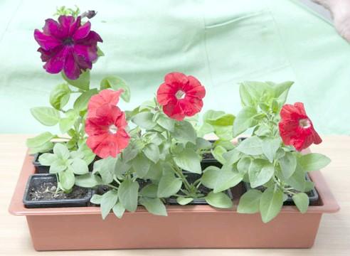 петунія, вирощування розсади, готові до висадки рослини