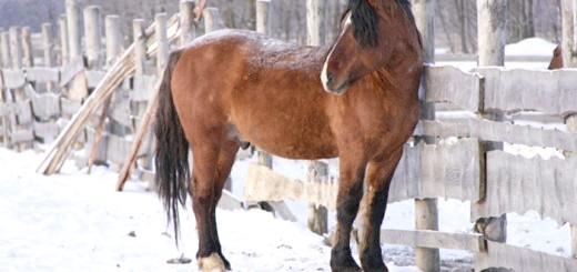 На фотографії кінь породи Вятка, westernhorse.ru
