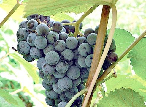 Сорти винограду, виноград Адель