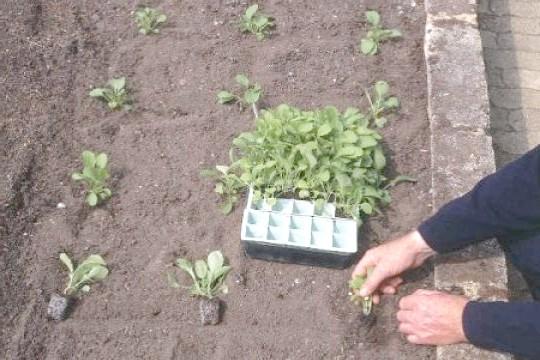 Фото - Розмноження і посадка: вирощування розсади