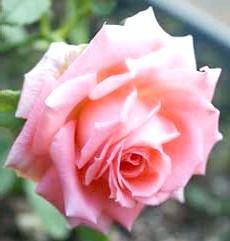 Фото - Розмноження троянд