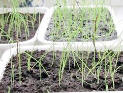 Фото - Ріпчасту цибулю, вирощений з чорнушки, - розсадою, весняним і Підзимовий посів