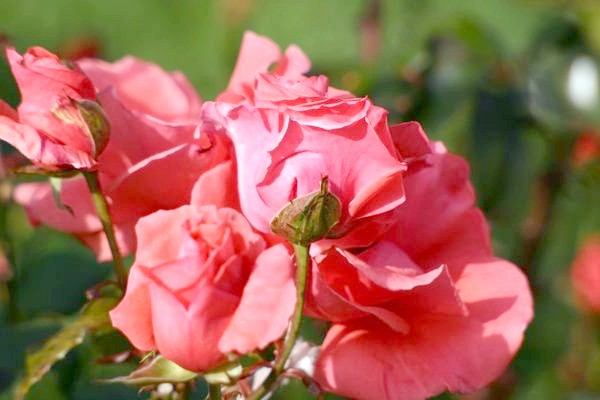 Роза пахне трояндою