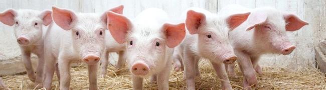 Фото - Рожа свиней та інші небезпечні для людини хвороби з докладним описом і методами лікування