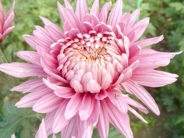 Pandion Pink