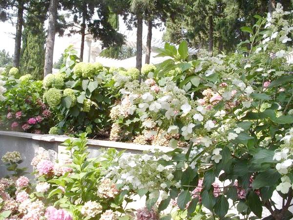 Сад гортензій.