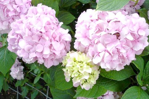 Гортензія крупнолистная - справжня королева саду.