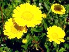Фото - Їстівні квіти