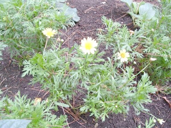 Їстівні хризантеми