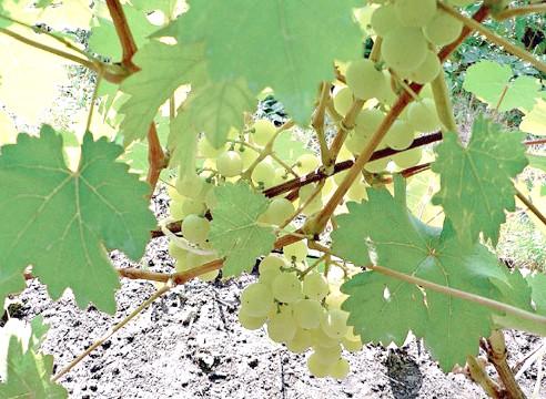 Сорти винограду, виноград Ціравас Агра