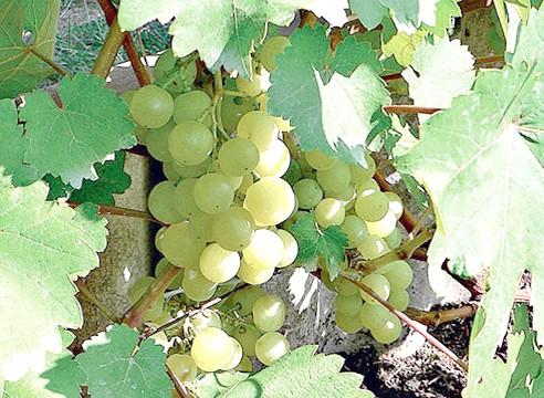 Сорти винограду, виноград Ліепаяс Дзінтарс