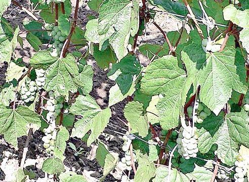 Сорти винограду, виноград Олеся Далекосхідна