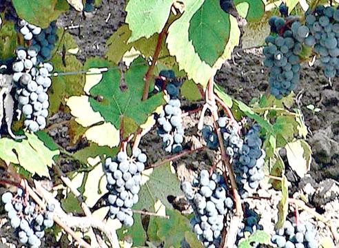 Сорти винограду, виноград Далекосхідний Новикова