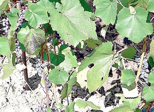 Сорти винограду, виноград Тайговий