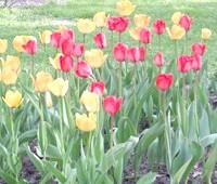 Фото - Сортові тюльпани майже задарма? це можливо