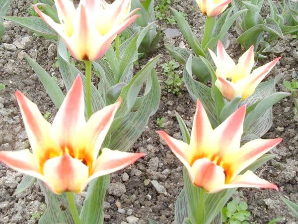 Тюльпани розсип
