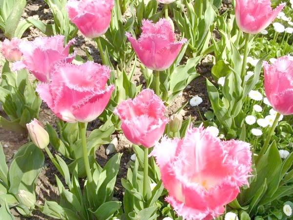 Дивовижні торочкуваті тюльпани