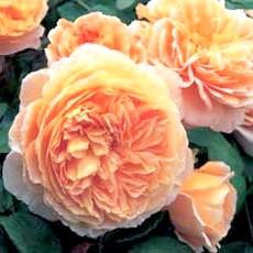 Фото - Догляд за трояндами
