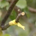 Фото - Весняна щеплення дерев