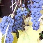 Фото - Виноградна лоза - 3 випадки неправильного розвитку