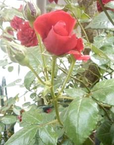 Фото - Всі про троянди