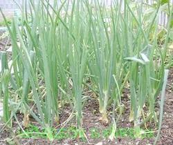 Фото - Вигонка цибулі на зелень: які сорти вибрати, і як виростити цибулю у відкритому грунті або теплиці