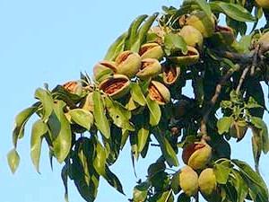 Фото - Вирощування мигдалю і волоського ореха.сорта