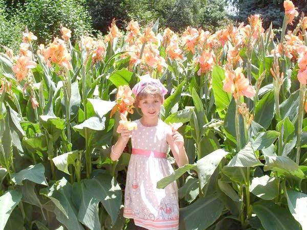 Сорт'Отблеск Заката' селекции Сада с оранжево-персиковыми цветками из группы Крози достигает высоты 1,5 м