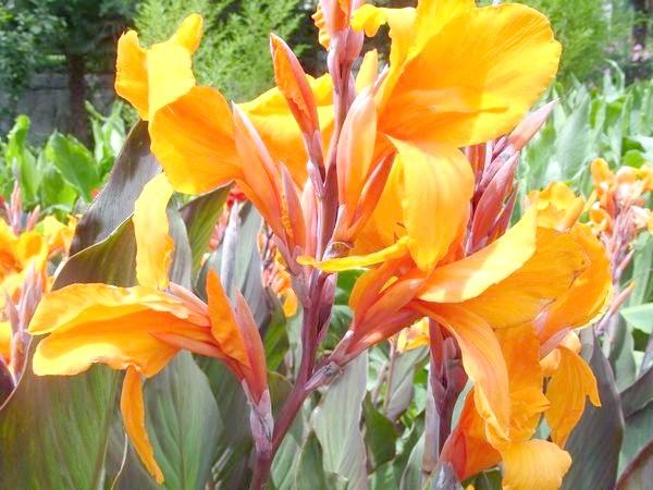 Помаранчеві факели суцвіть сорти'Clara Buisson' горят ярко на фоне бордово-зеленых листьев