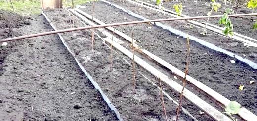 Саджанці жовтої малини після посадки, i1.ytimg.com
