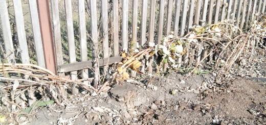 Пригинання кущів жовтої малини, blogspot.com