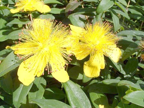 Квітки звіробою чашкового