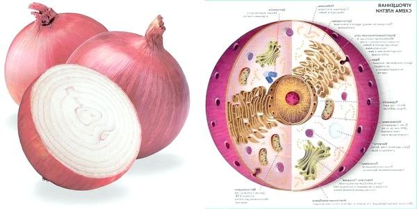 Цибулина ріпчастої цибулі і структура клітини